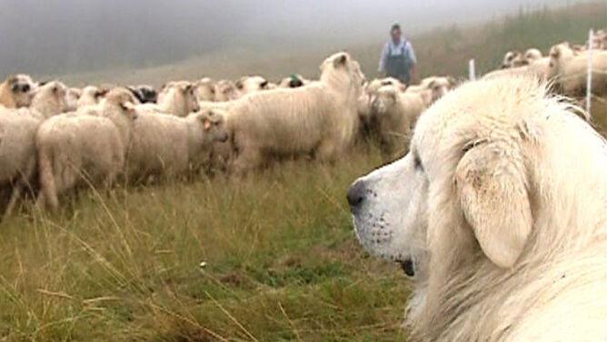 Obrońcy owiec wracają w Tatry