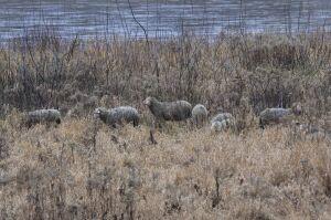 Wypas nad Wisłą. Na wyspie zamieszkały owce