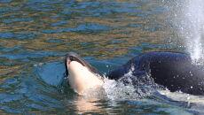 Orka z martwym młodym (Ken Balcomb/Center for Whale Research)/WhaleResearch.com