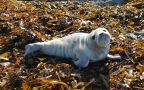 Młoda foka wyrzucona na brzeg na wyspie Jersey
