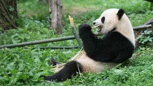 Dlaczego pandy są czarno-białe? Naukowcy znaleźli odpowiedź