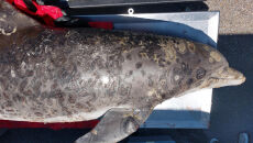 Choroba skóry u delfinów (Tim Morgan, Mississippi State University)