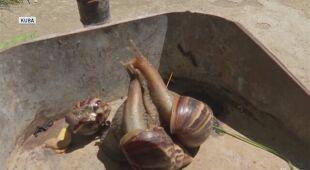 Plaga ślimaków na Kubie